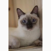 Молодая тайская кошечка