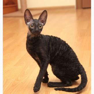 Элитные котята корниш рекс