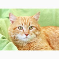 Огненный красавец кот Крокус ищет дом