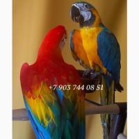 Ручные птенцы попугаев ара, какаду, жако, амазон из питомника