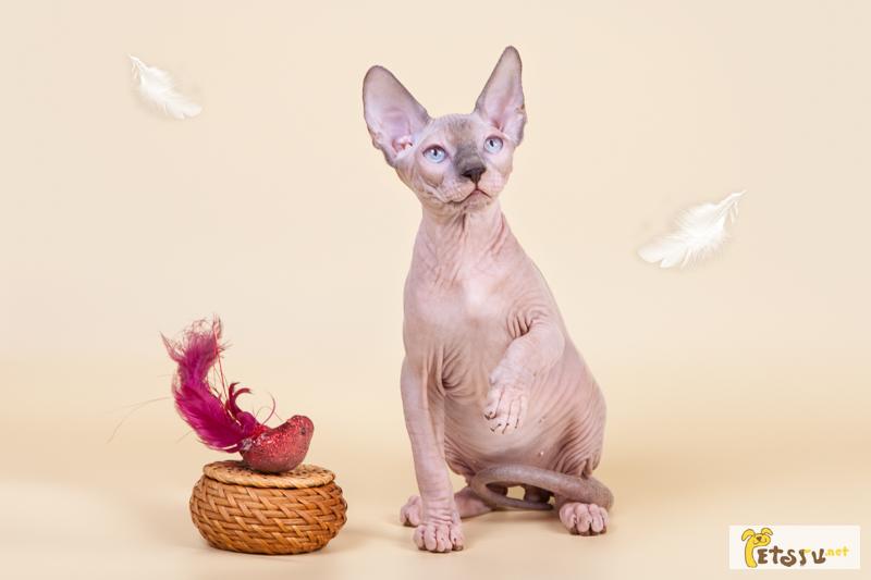 Фото 3/5. Шоу-котята из питомника.