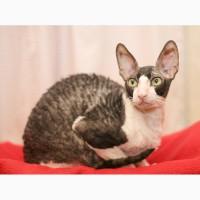 Корниш-рекс взрослый котик