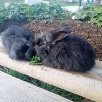 Немецкая ангора, пуховые кролики