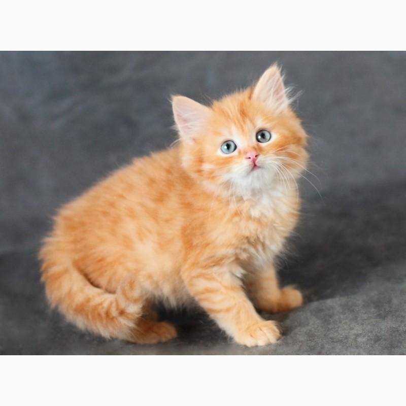 Фото 2/4. Сибирский котенок с отличной родословной