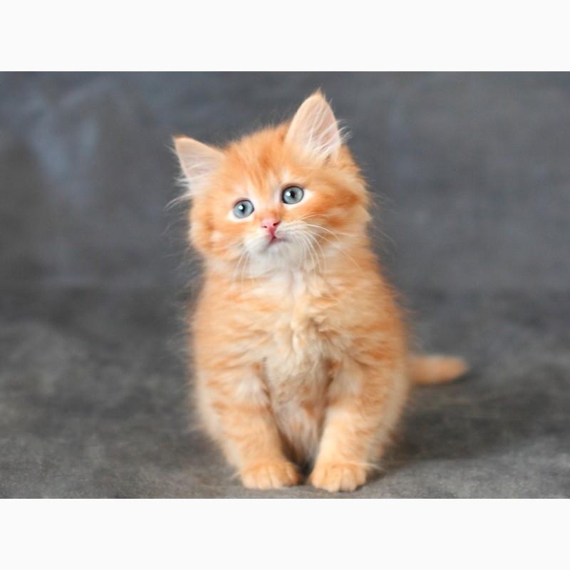 Фото 3/4. Сибирский котенок с отличной родословной