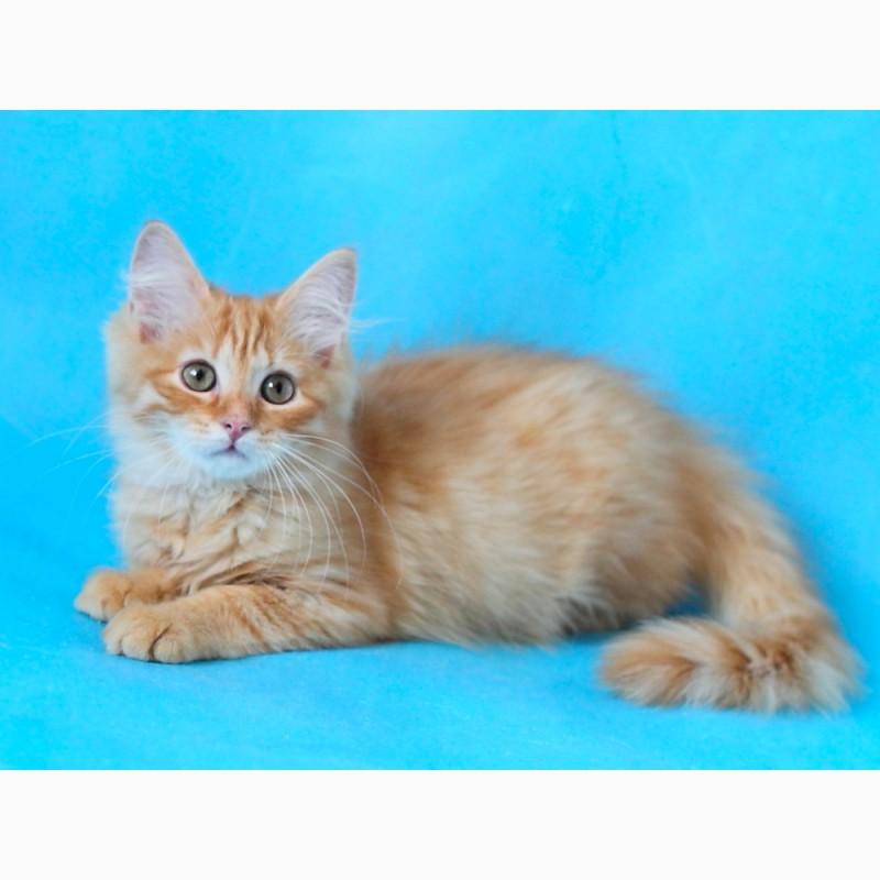 Фото 1/4. Сибирский котенок с отличной родословной