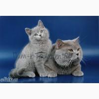 Котята британцы в питомнике TinArden*RU
