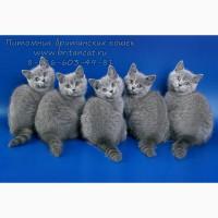 Британские котята голубого окраса в питомнике
