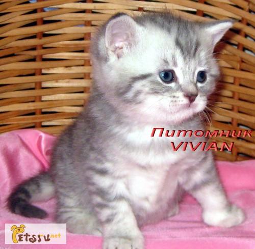 Фото 1/1. Британские клубные котята вискас из питомника VIVIAN