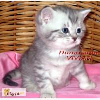 Британские клубные котята вискас из питомника VIVIAN