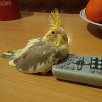 Продам домашних волнистых попугаев и корелла