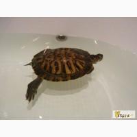 Красноухая черепаха ищет дом