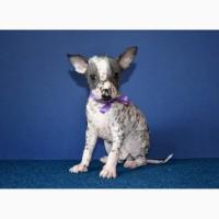 Шикарные щеночки мини-мексиканская голая собака