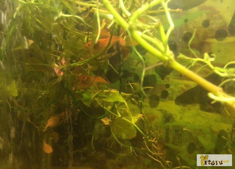 Фото 1/1. Продам красных аквариумных раков в Воронеже