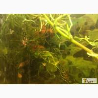 Продам красных аквариумных раков в Воронеже