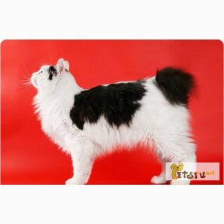 Курильский бобтейл: котята голубой крови в Воронеже