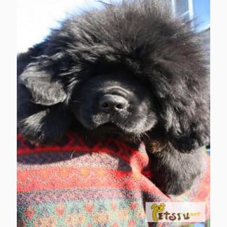 Тибетского мастифа щенков в Москве