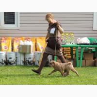 Шикарный щенок шарпея - победитель Бэста бэби из старейшего питомника Москвы