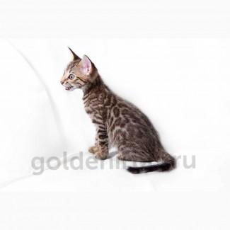 Ручные леопардовые котята Саванна ф5