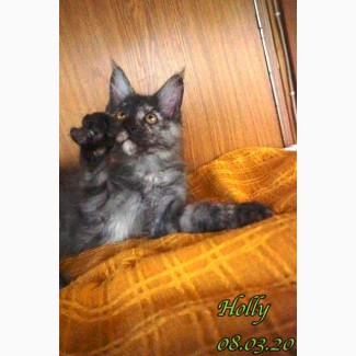 Holly Maine Coon