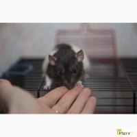 Крысята дамбо 3 месяца мальчики