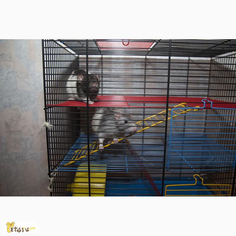 Фото 3/5. Крысята дамбо 3 месяца мальчики