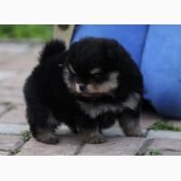 Померанские миниатюрные щенки шпицев