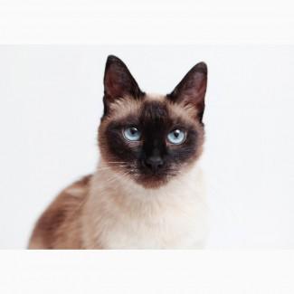 Прекрасная тайская кошечка Эльза ищет дом и семью