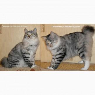 Кошка Курильского бобтейла Генриетта Звезда Курил
