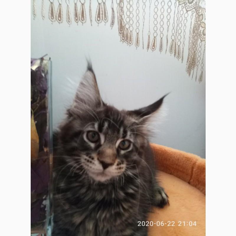 Фото 2/16. Клубные котики мейн куны от титулованных родителей