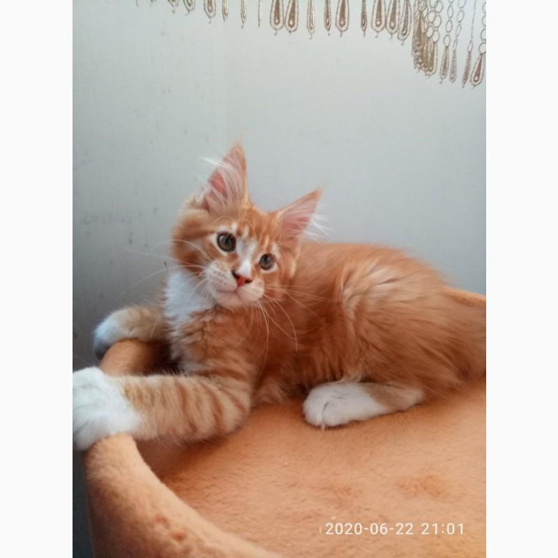 Фото 3/16. Клубные котики мейн куны от титулованных родителей