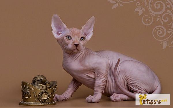 Фото 1/11. Смешной, симпатичный котёнок породы Эльф, бамбино, канадский сфинкс