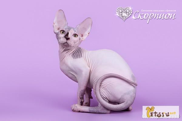 Фото 2/11. Смешной, симпатичный котёнок породы Эльф, бамбино, канадский сфинкс