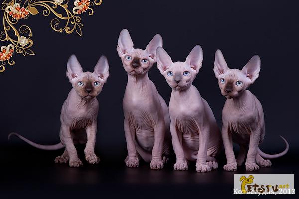 Фото 3/11. Смешной, симпатичный котёнок породы Эльф, бамбино, канадский сфинкс