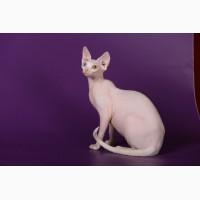 Смешной, симпатичный котёнок породы Эльф, бамбино, канадский сфинкс