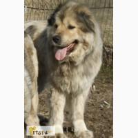 Кавказской овчарки щенок в Смоленске