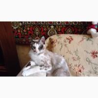 Котята Сноу шу