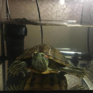 Болотная (водяная) черепаха