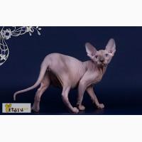 Питомник продаёт элитных котят Эльф, бамбино, Двэльф, канадский сфинкс