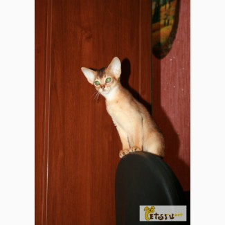 Абиссинские котята в Саратове